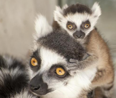 Lemur scents used to determine sex of baby