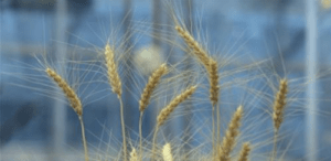 agric wheat